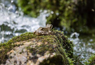 Frosch am Wildbach